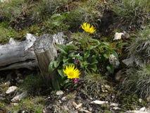 多榔菊属植物grandiflorum 库存图片