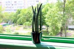 多汁关闭在一块绿色窗口基石的一个黑罐 免版税库存图片