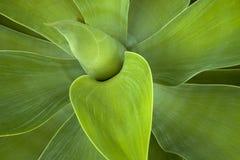 多汁植物叶子绿色样式和纹理  免版税库存照片
