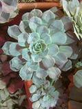 多汁植物和仙人掌在庭院里 Echeveria,石头上升了 r 选择聚焦,关闭紫色多汁植物的图象 库存图片