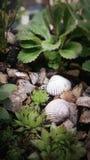多汁植物和壳 免版税库存图片