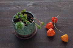 多汁植物和空泡 免版税图库摄影