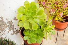 多汁植物和仙人掌在庭院里 Echeveria 库存照片