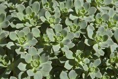 多汁植物在安大路西亚III 免版税库存图片
