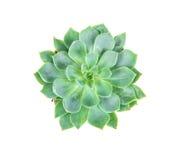 多汁植物在白色背景、天花板或者上面vi的罐种植 免版税库存图片