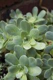 多汁植物在雨中 免版税库存照片