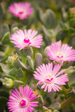 多汁植物桃红色花  免版税库存照片