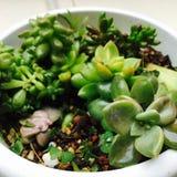 多汁植物混合物  库存图片