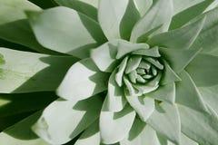 多汁植物特写镜头在沙漠 库存照片