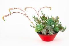 多汁植物的安排在白色隔绝的花盆的 免版税库存照片