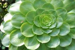 多汁植物的美丽的耳垂 库存图片