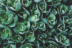 多汁植物的顶视图 背景蓝色云彩调遣草绿色本质天空空白小束 颜色箭深度域浅软件 Hylotelephium telephium 免版税库存照片