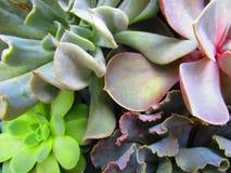 多汁植物种植特写镜头 图库摄影