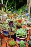 多汁植物种植罐 免版税库存图片