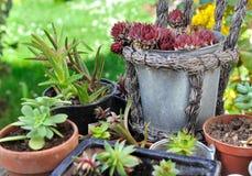 多汁植物种植装壶 免版税库存照片