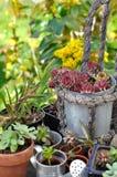 多汁植物装壶 免版税库存图片