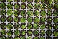 多汁植物顶视图 免版税库存照片