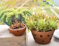 多汁植物:Sedum corynephyllum 库存照片