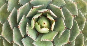 多汁植物仙人掌 库存照片
