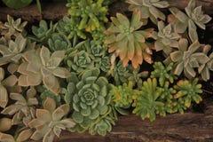 多汁植物`绿色和形状 免版税库存图片