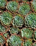 多汁植物 免版税库存照片