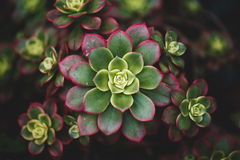 多汁植物 免版税库存图片