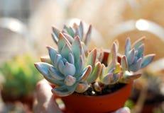 多汁植物Echeveria sp SIMONOASA 免版税库存图片