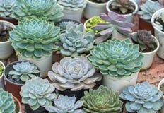 多汁花圃植物在庭院里 免版税库存图片