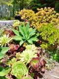 多汁仙人掌植物明亮和五颜六色的品种  免版税库存图片