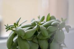 多汁-景天树ovata玉植物,金钱植物特写镜头 免版税库存照片