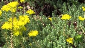 多汁orpin (全部 Sedum)与黄色开花 异乎寻常的工厂 股票录像