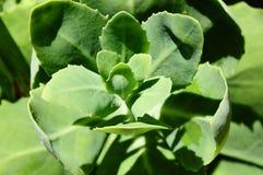 多汁succulentus 免版税图库摄影