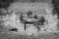 多灰尘的印度羚鹿 库存图片