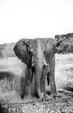 多灰尘的大象 库存图片