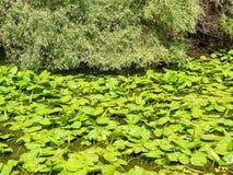 多瑙河三角洲植被 库存照片