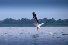 从多瑙河三角洲的鹈鹕 免版税库存照片