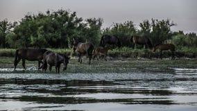 多瑙河三角洲,罗马尼亚,欧洲,在狂放的马 免版税库存照片