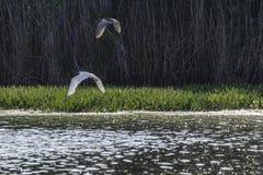 多瑙河三角洲,罗马尼亚,欧洲,鸟 库存图片