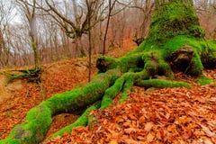 多瑙河峡谷树 免版税库存照片
