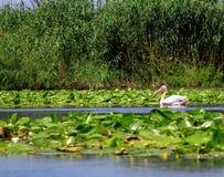 多瑙河Delta罗马尼亚 图库摄影
