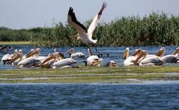 多瑙河Delta罗马尼亚 库存图片