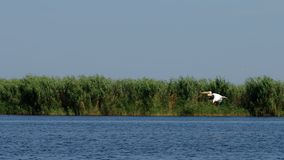 多瑙河Delta鹈鹕 库存照片