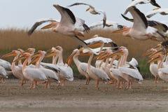 多瑙河Delta鹈鹕 免版税库存照片