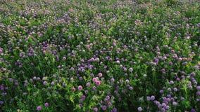 水多的三叶草开花的草甸在日落的 影视素材