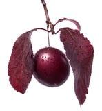 水多的分支李子特写镜头与红色叶子的 唯一紫色李子,隔绝在白色背景 自创汁液的莓果 免版税库存图片