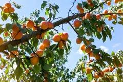 水多的成熟杏子 图库摄影