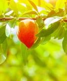 水多的成熟桃子 库存图片