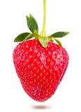 水多的成熟草莓 库存图片