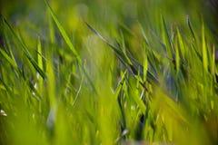 水多的春天草特写镜头 免版税库存照片