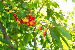 水多的有机樱桃 库存照片